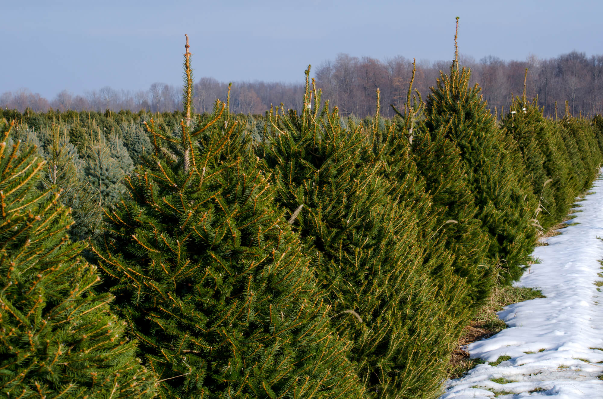 Boy Scouts Christmas Tree Rockford Il 2020 Christmas Tree Farms and Stands in Rockford, Illinois | Stateline Kids