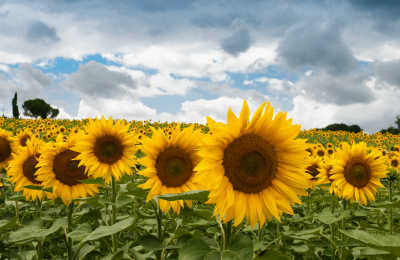 Places to See Sunflowers in the Rockford Area